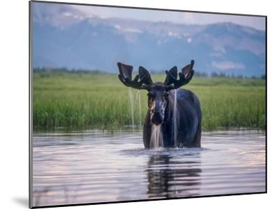 Water Pours from the Antlers of a Bull Moose Lifting His Head from Beaverdam Creek-Tom Murphy-Mounted Photographic Print