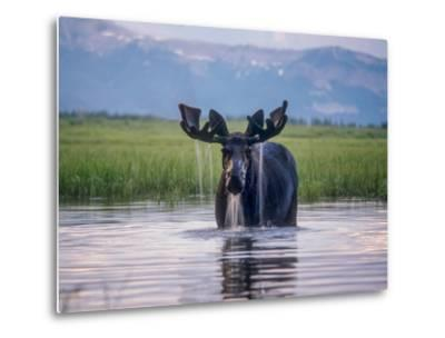 Water Pours from the Antlers of a Bull Moose Lifting His Head from Beaverdam Creek-Tom Murphy-Metal Print