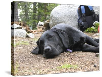 Portrait of a Pet Dog Resting Near a Backpack During a Hike in the Wind River Range-Michael Forsberg-Stretched Canvas Print