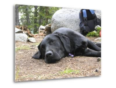 Portrait of a Pet Dog Resting Near a Backpack During a Hike in the Wind River Range-Michael Forsberg-Metal Print