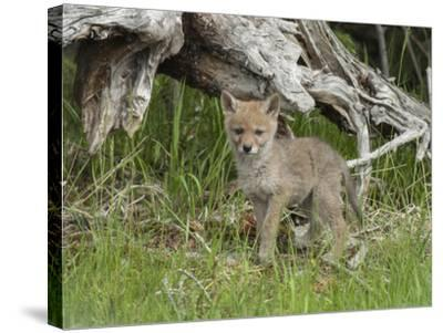 A Coyote Puppy Stands Looking at the Camera-Tom Murphy-Stretched Canvas Print