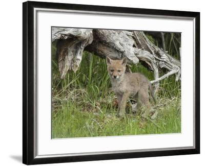 A Coyote Puppy Stands Looking at the Camera-Tom Murphy-Framed Photographic Print