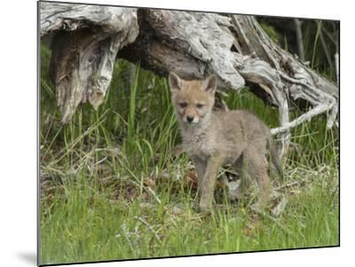 A Coyote Puppy Stands Looking at the Camera-Tom Murphy-Mounted Photographic Print