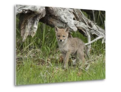 A Coyote Puppy Stands Looking at the Camera-Tom Murphy-Metal Print