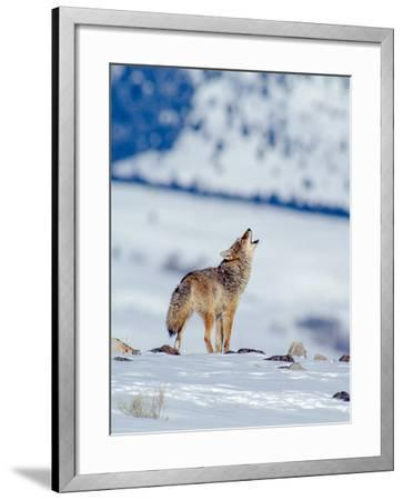A Coyote Howls in a Winter Landscape-Tom Murphy-Framed Photographic Print