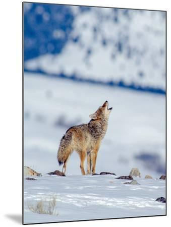 A Coyote Howls in a Winter Landscape-Tom Murphy-Mounted Photographic Print