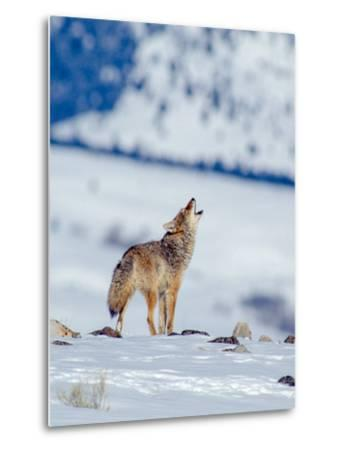 A Coyote Howls in a Winter Landscape-Tom Murphy-Metal Print