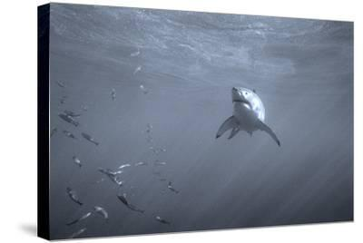 Portrait of a Great White Shark, Carcharodon Carcharias, Swimming Near Bait Fish-Jeff Wildermuth-Stretched Canvas Print