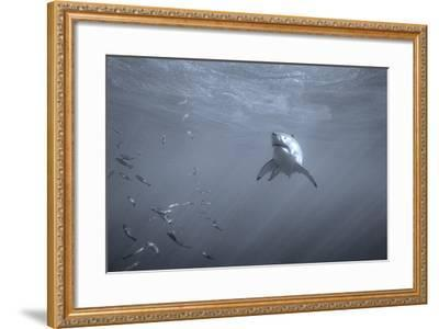 Portrait of a Great White Shark, Carcharodon Carcharias, Swimming Near Bait Fish-Jeff Wildermuth-Framed Photographic Print