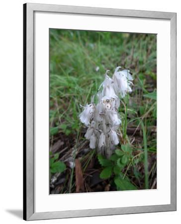 Close Up of a Parasitic Indian Pipe Plant and Blooms, Monotropa Uniflora-Amy White and Al Petteway-Framed Photographic Print