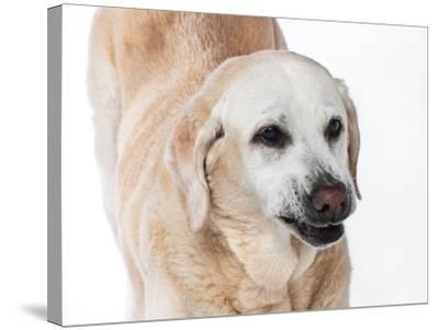 Close Up Portrait of an Old Pet Yellow Labrador Retriever Stretching-Vickie Lewis-Stretched Canvas Print