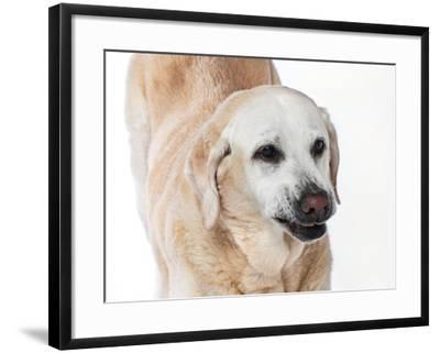 Close Up Portrait of an Old Pet Yellow Labrador Retriever Stretching-Vickie Lewis-Framed Photographic Print