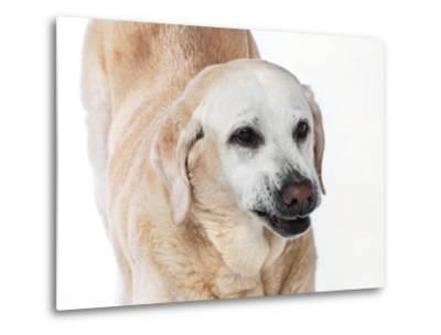 Close Up Portrait of an Old Pet Yellow Labrador Retriever Stretching-Vickie Lewis-Metal Print