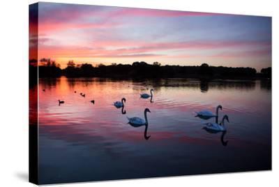 Mute Swans, Cygnus Olor, Swim on Pen Ponds at Sunset in Richmond Park-Alex Saberi-Stretched Canvas Print
