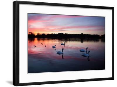 Mute Swans, Cygnus Olor, Swim on Pen Ponds at Sunset in Richmond Park-Alex Saberi-Framed Photographic Print