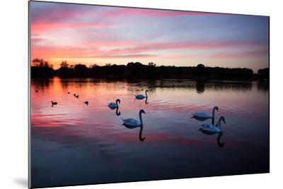 Mute Swans, Cygnus Olor, Swim on Pen Ponds at Sunset in Richmond Park-Alex Saberi-Mounted Photographic Print