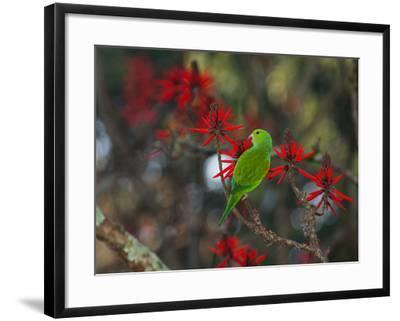 A Plain Parakeet, Brotogeris Tirica, Resting and Eating on a Coral Tree-Alex Saberi-Framed Photographic Print