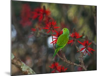 A Plain Parakeet, Brotogeris Tirica, Resting and Eating on a Coral Tree-Alex Saberi-Mounted Photographic Print