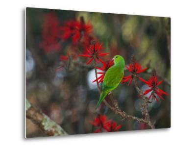 A Plain Parakeet, Brotogeris Tirica, Resting and Eating on a Coral Tree-Alex Saberi-Metal Print