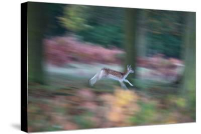 A Panned View of a Fallow Deer, Dama Dama, Running and Jumping Among Trees-Alex Saberi-Stretched Canvas Print