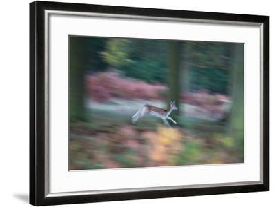 A Panned View of a Fallow Deer, Dama Dama, Running and Jumping Among Trees-Alex Saberi-Framed Photographic Print