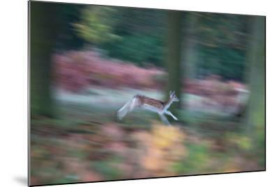 A Panned View of a Fallow Deer, Dama Dama, Running and Jumping Among Trees-Alex Saberi-Mounted Photographic Print