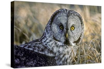 A Great Gray Owl Stares at the Camera-Tom Murphy-Stretched Canvas Print