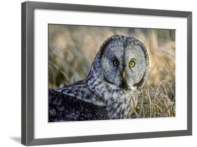 A Great Gray Owl Stares at the Camera-Tom Murphy-Framed Photographic Print