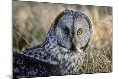 A Great Gray Owl Stares at the Camera-Tom Murphy-Mounted Photographic Print