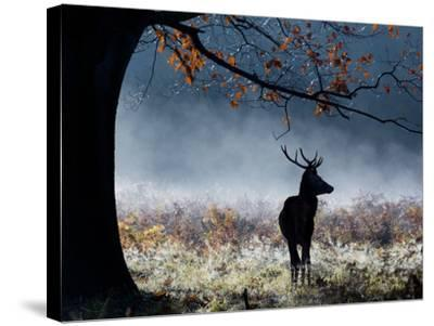 A Red Deer Stag in a Forest with Colorful Fall Foliage-Alex Saberi-Stretched Canvas Print