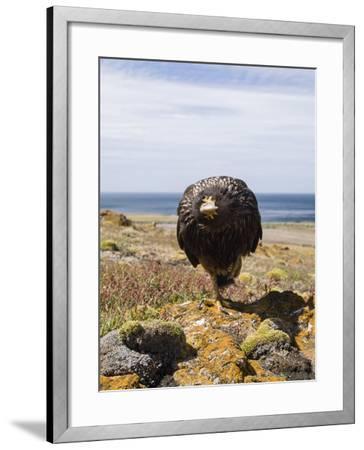 Striated Caracara, Phalcoboenus Australis-Tom Murphy-Framed Photographic Print
