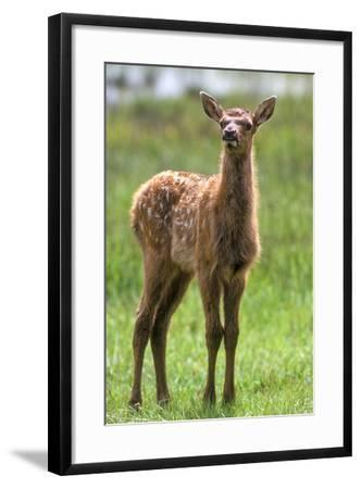 A Curious Elk Calf Chewed its Cud, and Shoos the Flies Away by Wiggling its Ears-Tom Murphy-Framed Photographic Print