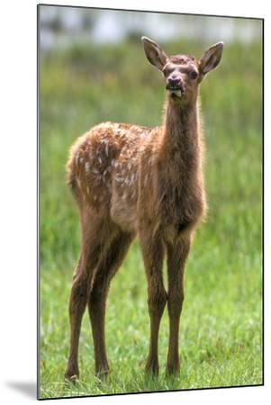 A Curious Elk Calf Chewed its Cud, and Shoos the Flies Away by Wiggling its Ears-Tom Murphy-Mounted Photographic Print