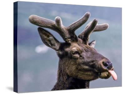 A Bull Elk with New Antler Growth Licks His Lips-Tom Murphy-Stretched Canvas Print