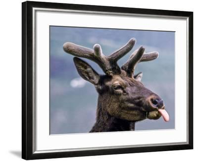 A Bull Elk with New Antler Growth Licks His Lips-Tom Murphy-Framed Photographic Print
