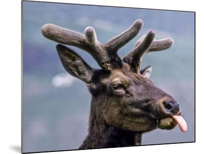 A Bull Elk with New Antler Growth Licks His Lips-Tom Murphy-Mounted Photographic Print