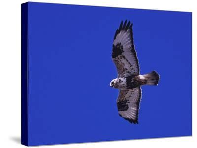 A Rough-Legged Hawk, Buteo Lagopus, in the Seal River Area-Kike Calvo-Stretched Canvas Print