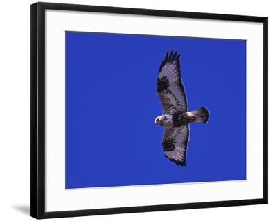 A Rough-Legged Hawk, Buteo Lagopus, in the Seal River Area-Kike Calvo-Framed Photographic Print