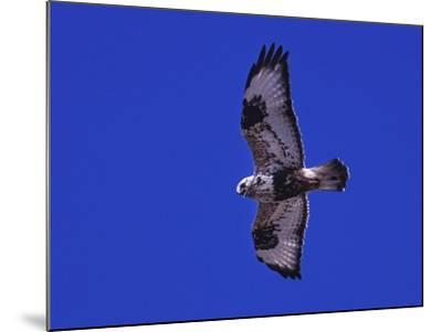 A Rough-Legged Hawk, Buteo Lagopus, in the Seal River Area-Kike Calvo-Mounted Photographic Print