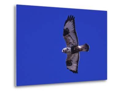 A Rough-Legged Hawk, Buteo Lagopus, in the Seal River Area-Kike Calvo-Metal Print