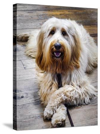 Portrait of a Pet Labra-Doodle Dog-Amy White and Al Petteway-Stretched Canvas Print