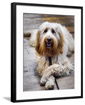 Portrait of a Pet Labra-Doodle Dog-Amy White and Al Petteway-Framed Photographic Print