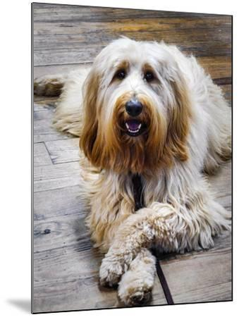 Portrait of a Pet Labra-Doodle Dog-Amy White and Al Petteway-Mounted Photographic Print