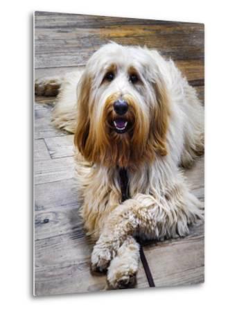 Portrait of a Pet Labra-Doodle Dog-Amy White and Al Petteway-Metal Print