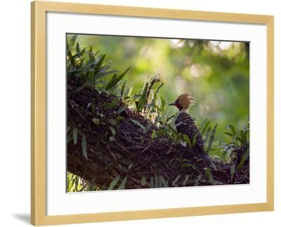 A Blond-Crested Woodpecker, Celeus Flavescens, Sits on a Branch at Sunset in Ibirapuera Park-Alex Saberi-Framed Photographic Print