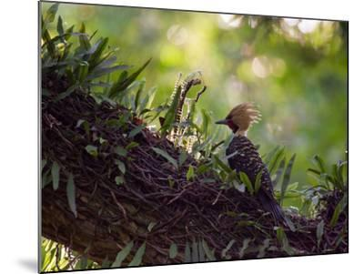 A Blond-Crested Woodpecker, Celeus Flavescens, Sits on a Branch at Sunset in Ibirapuera Park-Alex Saberi-Mounted Photographic Print