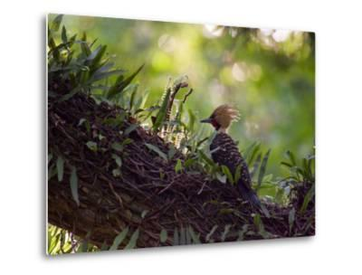 A Blond-Crested Woodpecker, Celeus Flavescens, Sits on a Branch at Sunset in Ibirapuera Park-Alex Saberi-Metal Print