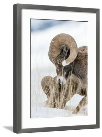 Two Bighorn Rams Digging for Grass Use their Front Feet to Push Away Snow with a Circular Motion-Tom Murphy-Framed Photographic Print