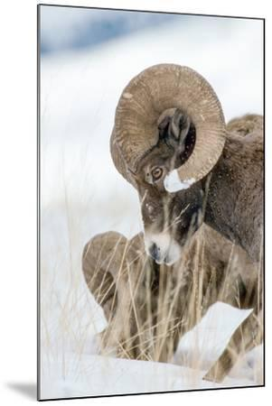 Two Bighorn Rams Digging for Grass Use their Front Feet to Push Away Snow with a Circular Motion-Tom Murphy-Mounted Photographic Print