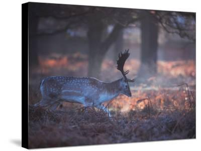 A Fallow Deer in the Early Morning Winter Mist in Richmond Park-Alex Saberi-Stretched Canvas Print